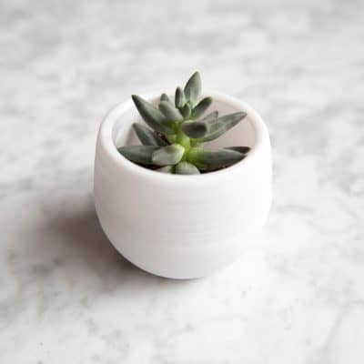succulent in a pot
