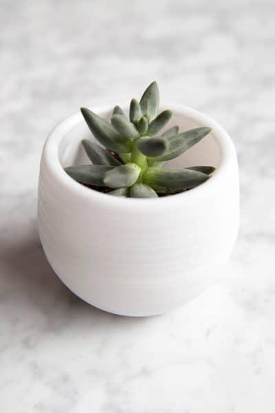 succulent in a pot